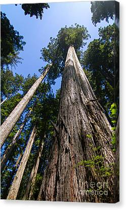 Towering Redwoods Canvas Print by Paul Rebmann