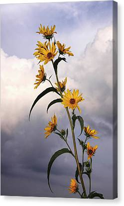 Canvas Print featuring the photograph Towering Sunflowers by Rob Graham