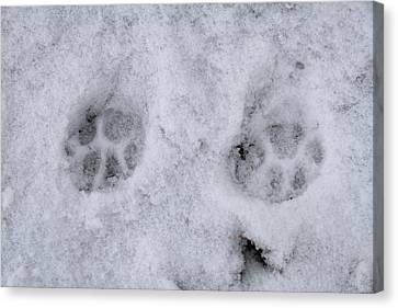 Traces Of A Cat In The Snow Netherlands Canvas Print by Ronald Jansen