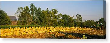 Tractor In A Tobacco Field, Winchester Canvas Print by Panoramic Images
