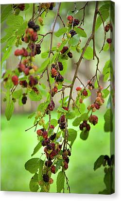 Traditional Foods Such As Berries Canvas Print by Angel Wynn