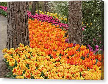 Trail Of Tulips Canvas Print by Robert Camp