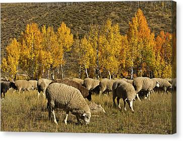 Populus Tremuloides Canvas Print - Trailing Of The Sheep Festival, Autumn by Michel Hersen