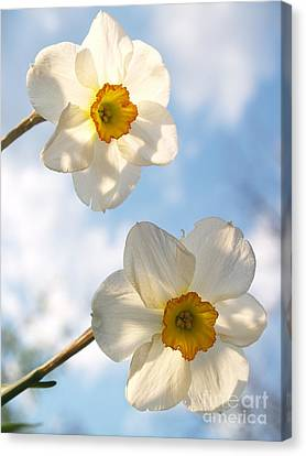 Transcendent Jonquils And Sky Canvas Print by Anna Lisa Yoder