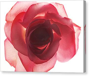 Translucent Rose Canvas Print by Marla Osborn