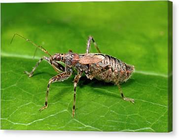 Tree Damsel Bug Canvas Print by Nigel Downer