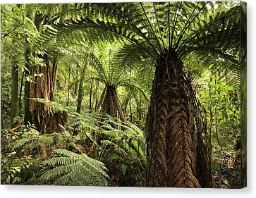 Tree Ferns Canvas Print by Les Cunliffe