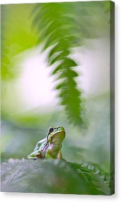 Frog Canvas Print - tree frog Hyla arborea by Dirk Ercken