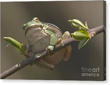 Tree Frog Sitting On The Perch Canvas Print by Odon Czintos