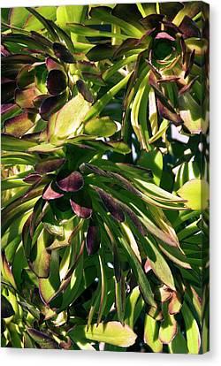 Tree Houseleek (aeonium Atropurpureum) Canvas Print by Adrian Thomas