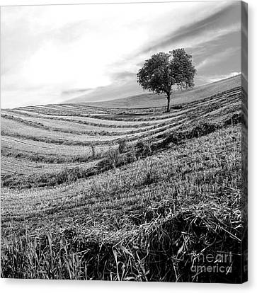 Tree In A Mowed Field. Auvergne. France Canvas Print by Bernard Jaubert