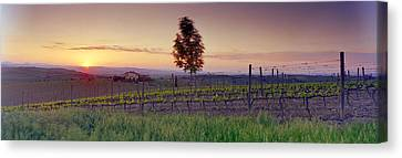 Tree In A Vineyard, Val Dorcia, Siena Canvas Print