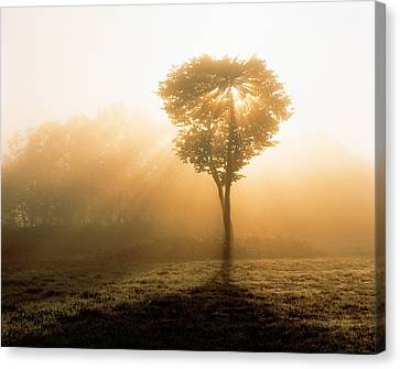 Tree In Early Morning Mist Canvas Print