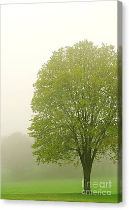 Tree In Fog Canvas Print by Elena Elisseeva