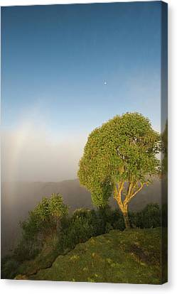 Neotropical Canvas Print - Tree In Sunlight, Tres Cruces Region by Howie Garber