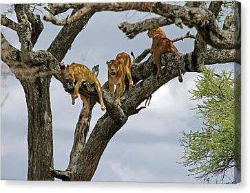 Tree Lions Canvas Print by Tony Murtagh
