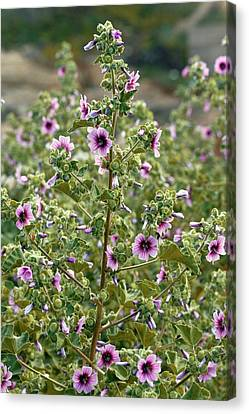 Tree Mallow (malva Arborea) In Flower Canvas Print