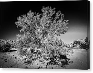 Tree Of The Desert Canvas Print