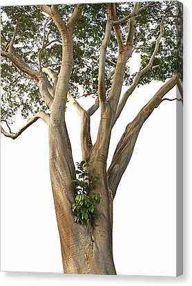 Tree On White - Albizia Niopoides And Epiphyte Canvas Print by Matt Tilghman