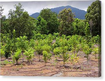 Tree Planting In Daintree Rainforest Canvas Print by Ashley Cooper