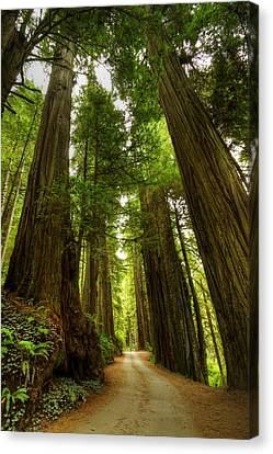 Tree Redwood Ca 3 Canvas Print by John Brueske