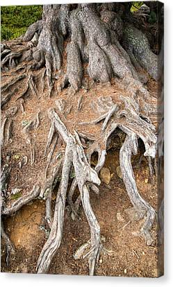 Tree Roots Canvas Print - Tree Root by Matthias Hauser