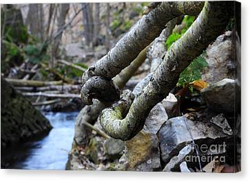 Tree Roots Canvas Print by Charline Xia