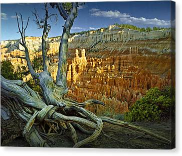 Tree Roots On A Ridge In Bryce Canyon Canvas Print by Randall Nyhof