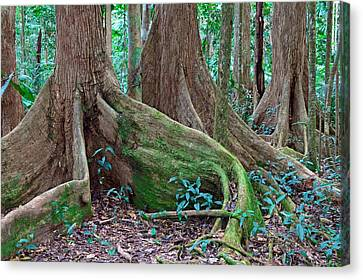 Tree Roots Canvas Print - Tree Roots Tropical Rainforest by Dirk Ercken