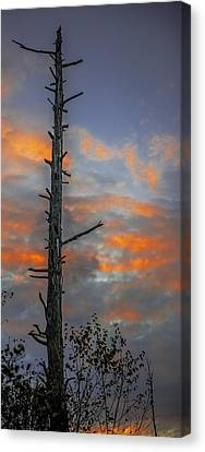 Tree Silhouette Canvas Print by Paul Freidlund