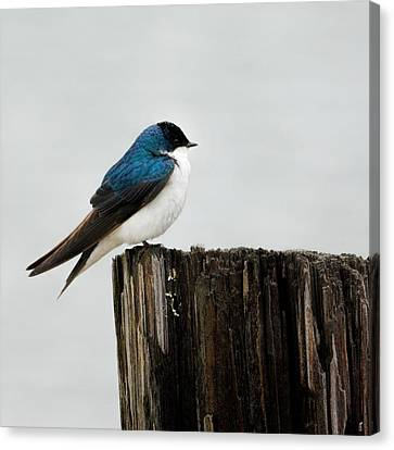 Tree Swallow - 06.14.2014 Canvas Print
