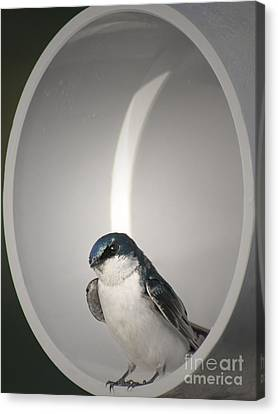 Canvas Print featuring the photograph Tree Swallow by Anita Oakley