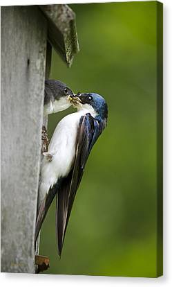 Tree Swallow Feeding Chick Canvas Print by Christina Rollo