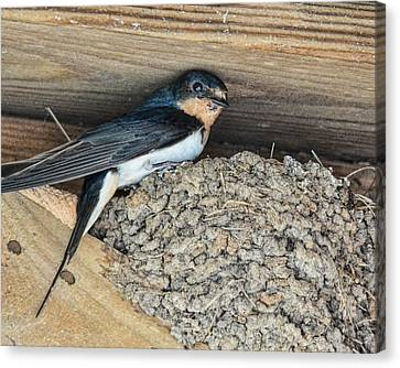 Tree Swallow In Nest Canvas Print by Jai Johnson