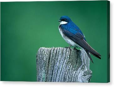 Tree Swallow Canvas Print by Paul J. Fusco