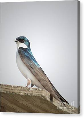 Canvas Print featuring the photograph Tree Swallow Portrait by Anita Oakley