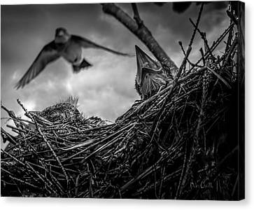 Tree Swallows In Nest Canvas Print by Bob Orsillo