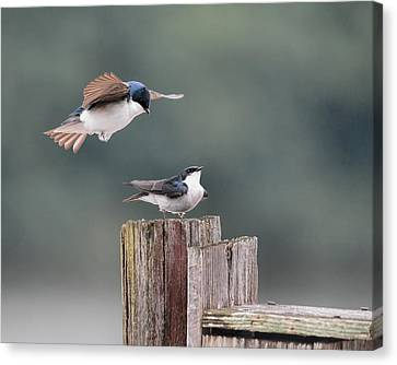 Tree Swallows Mating 1 Canvas Print