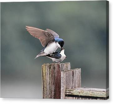 Tree Swallows Mating 2 Canvas Print