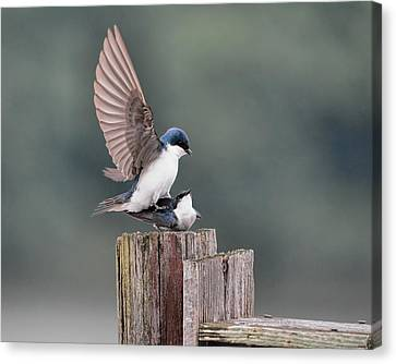 Tree Swallows Mating 3 Canvas Print