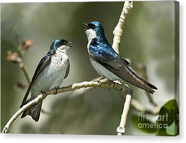 Tree Swallows Singing Canvas Print