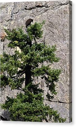 Tree Topper Canvas Print by Randy Giesbrecht