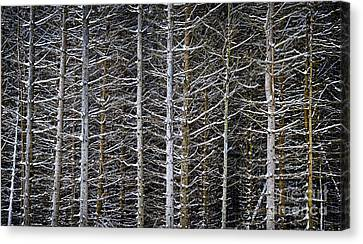 Tree Trunks In Winter Canvas Print