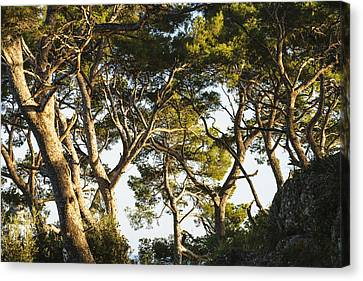 Trees And Blue Sky_ Portofino, Liguria Canvas Print by Yves Marcoux