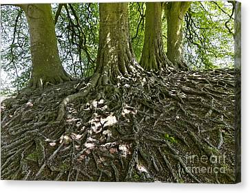 Trees And Roots Wiltshire England Canvas Print by Robert Preston
