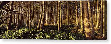 Trees And Salals In A Forest At Sunset Canvas Print by Panoramic Images
