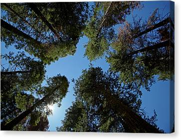Giant Sequoia Canvas Print - Trees At Tuolumne Sequoia Grove by David Wall