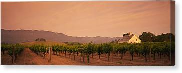 Trees In A Vineyards, Napa Valley Canvas Print