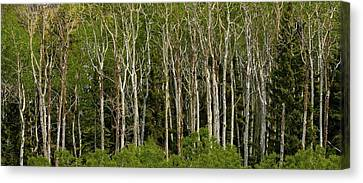 Trees Canvas Print by Kimberly Oegerle