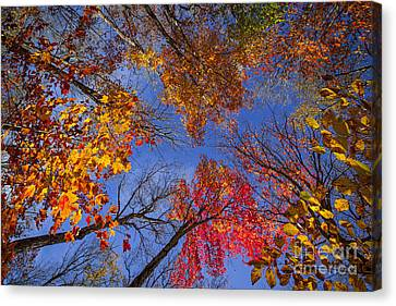 Maple Season Canvas Print - Treetops In Fall Forest by Elena Elisseeva